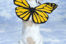 DIY butterfly costume for a dog