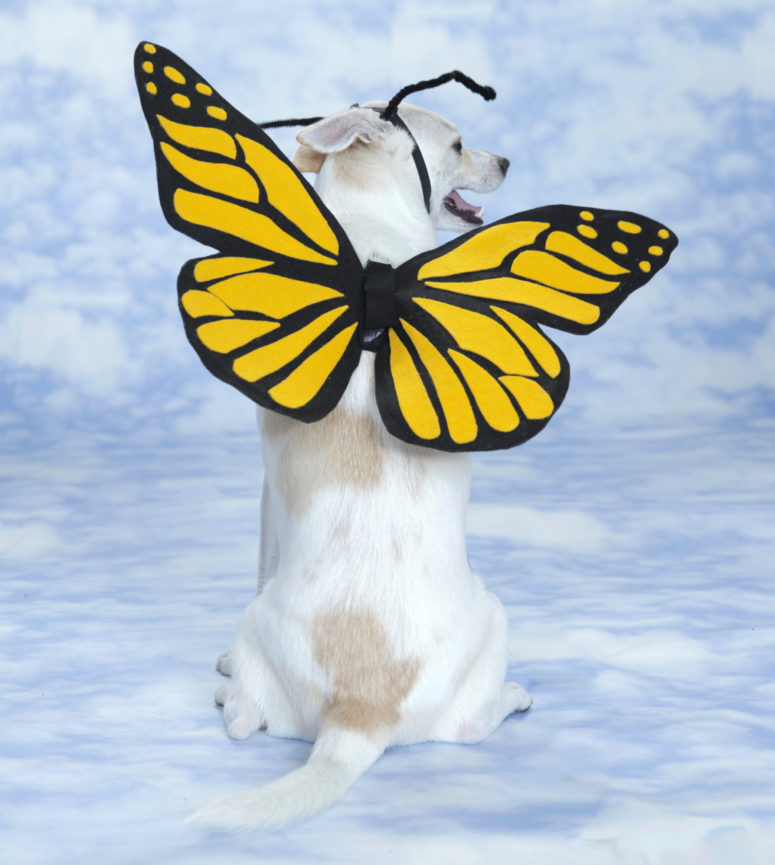 DIY butterfly costume for a dog (via www.apartmenttherapy.com)